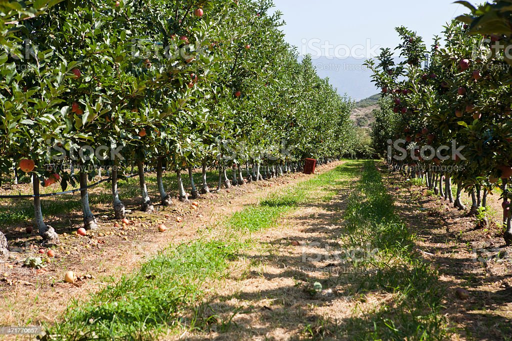 Red apples trees in a row stock photo