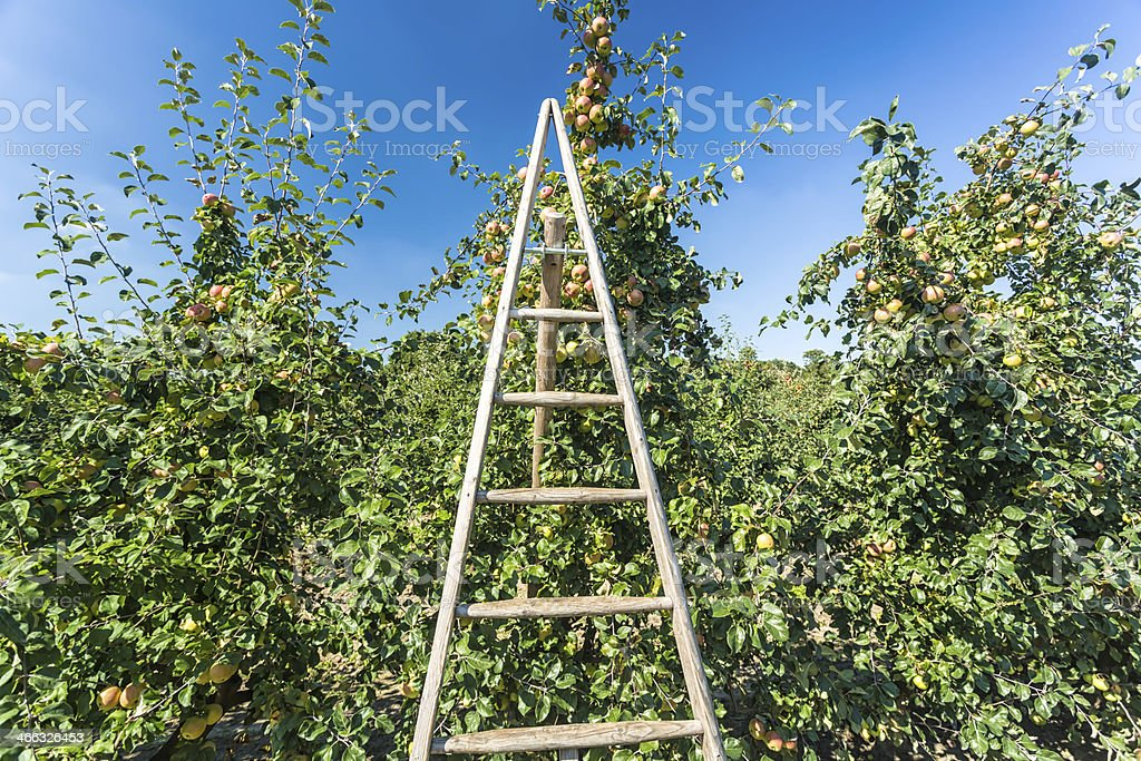 Red apples with ladder royalty-free stock photo