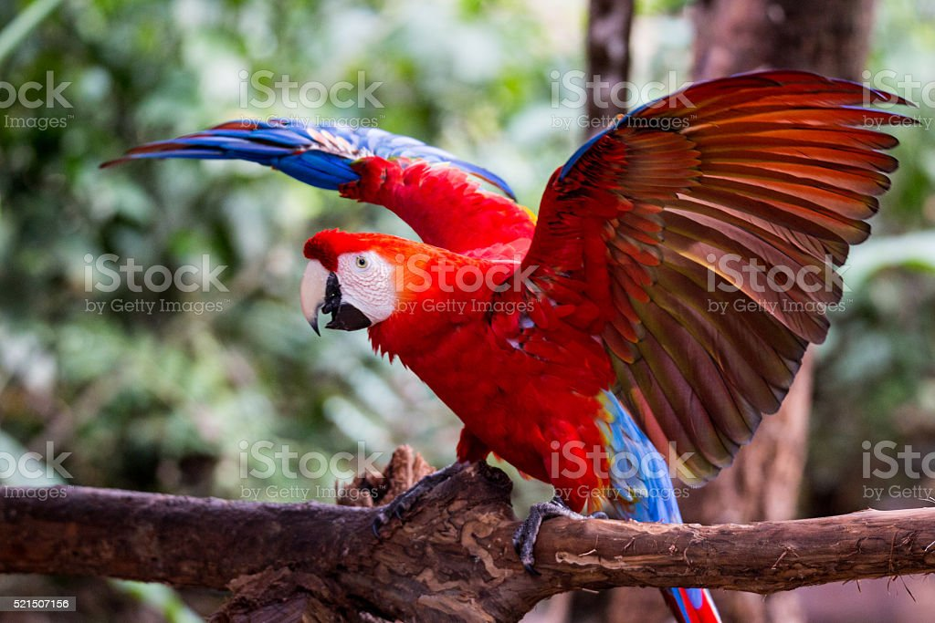 Red Ara landing on a trunk stock photo