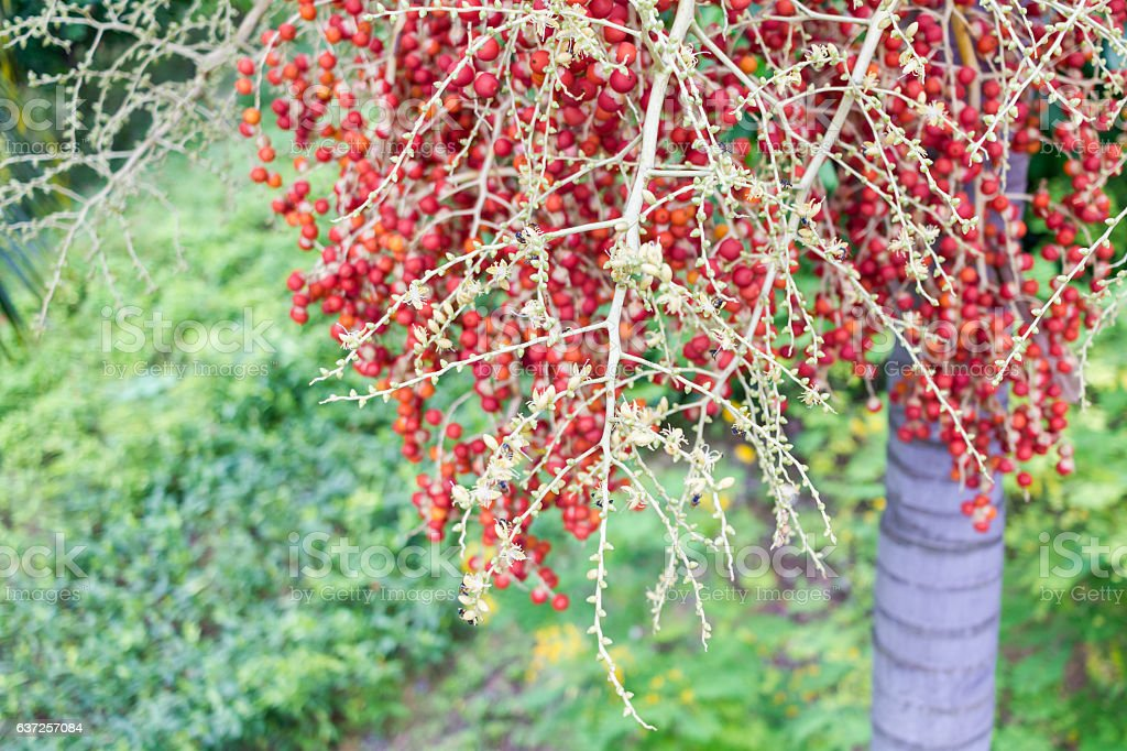 Red Areca Nut from Areca palm Medium Shot stock photo