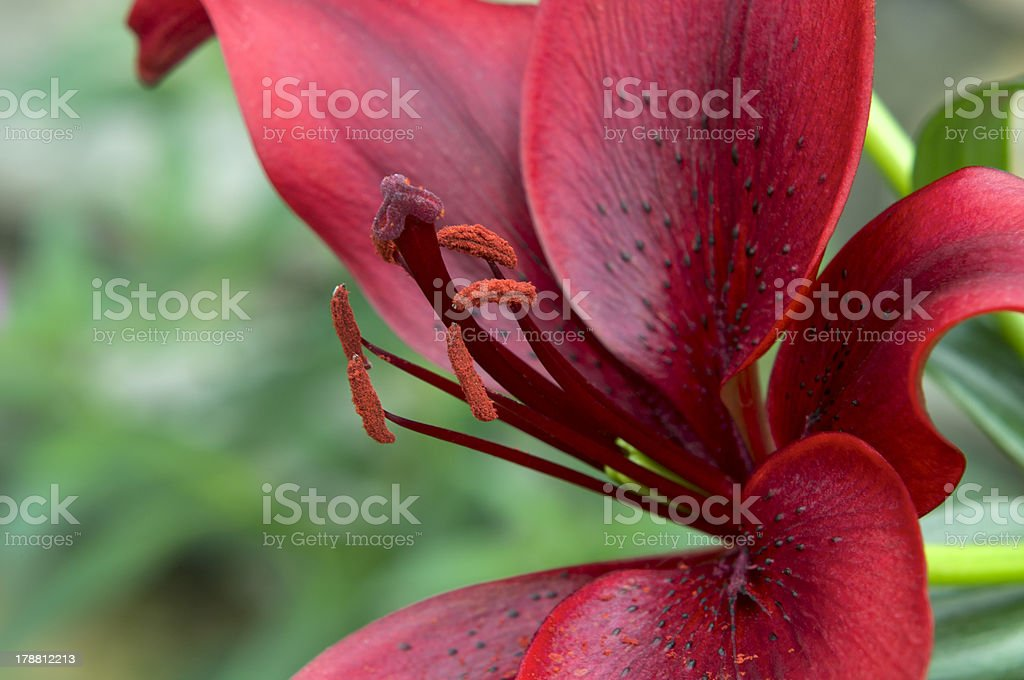 Red Asiatic Lily Petals and Stamens royalty-free stock photo