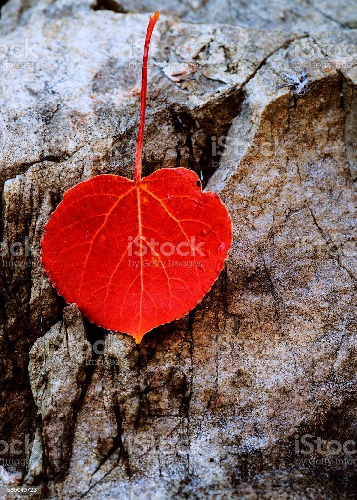 Red Aspen leaf fallen on rock stock photo