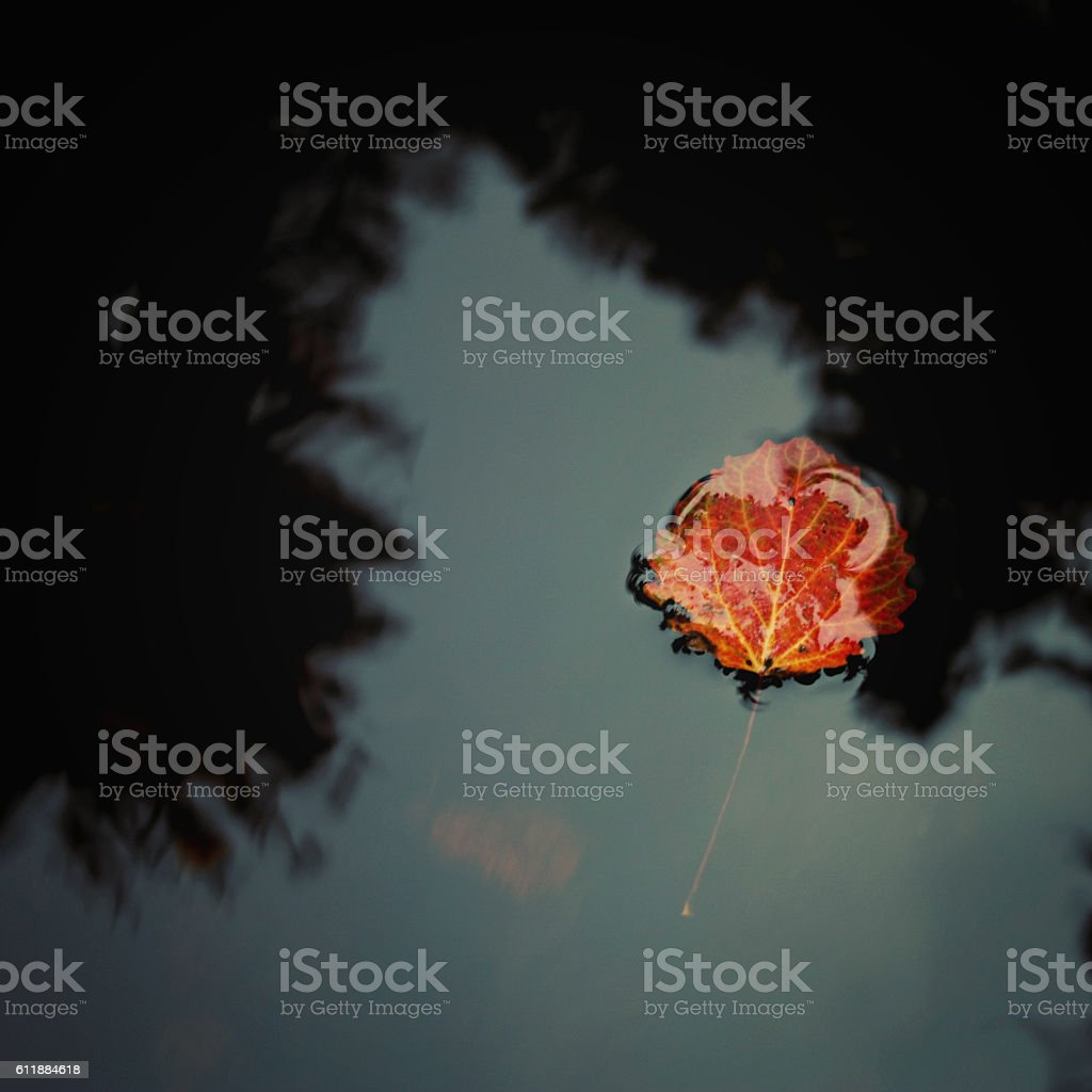 Red aspen leaf floating on the water. Autumn photo stock photo