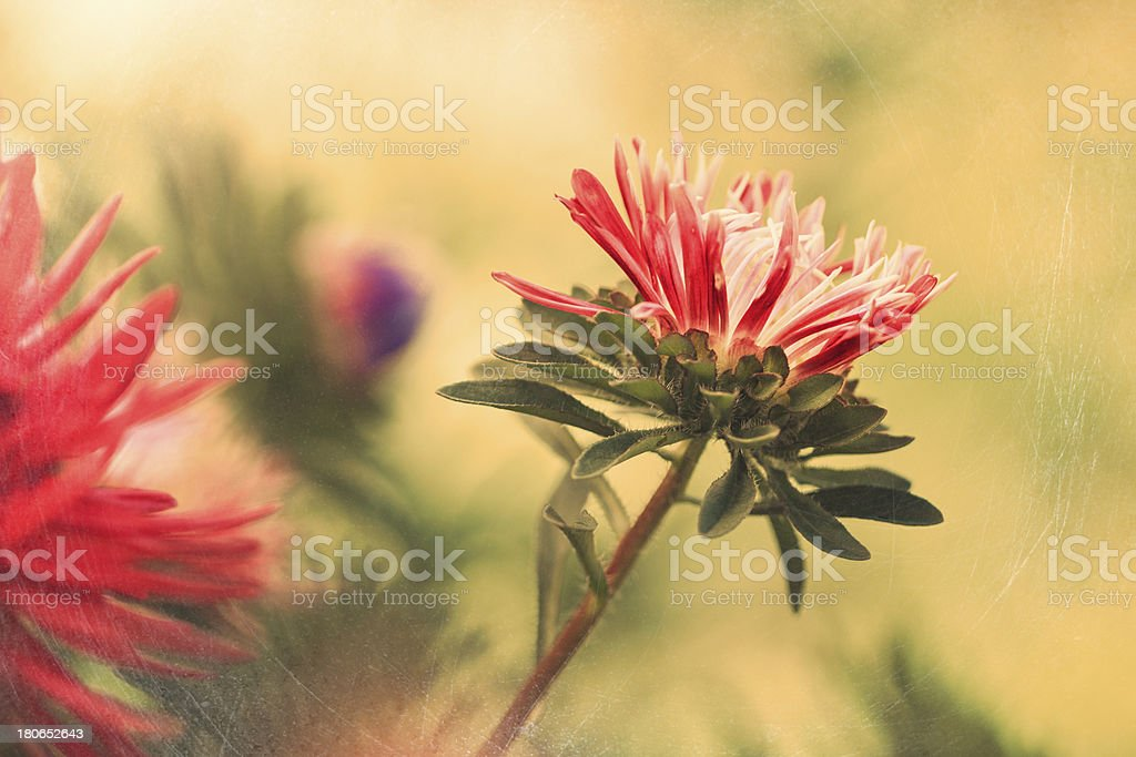 Red Aster flower royalty-free stock photo