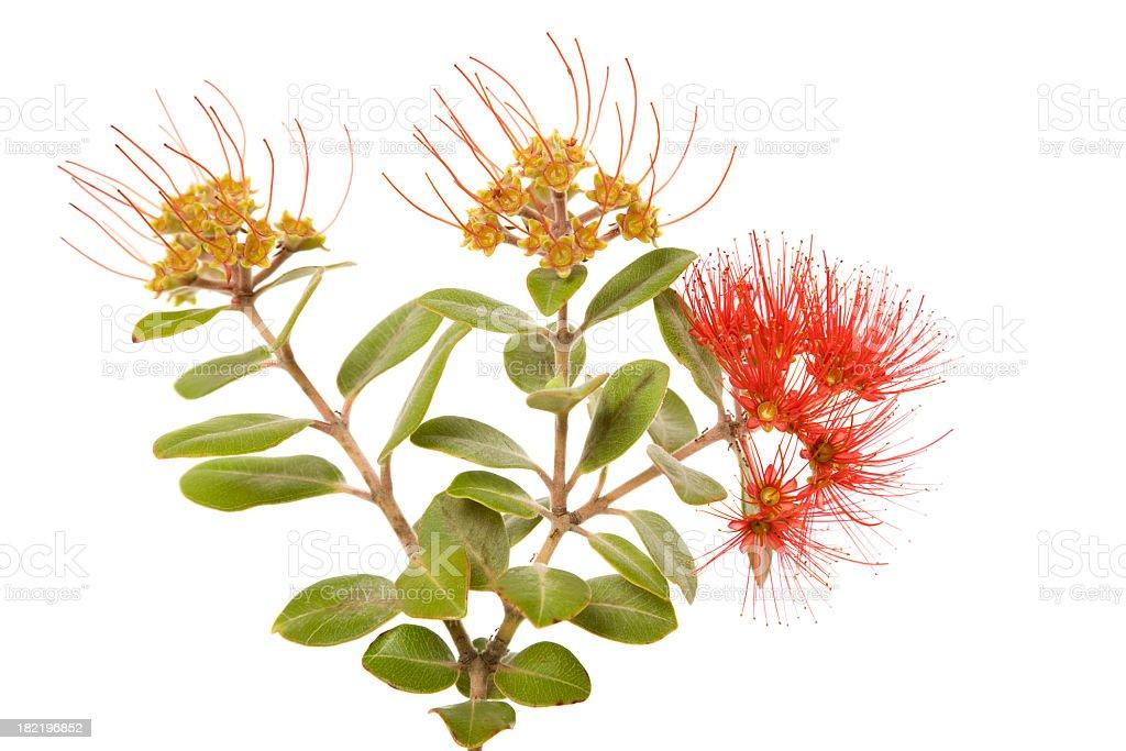Red Australian wildflower called Calliandra on white royalty-free stock photo