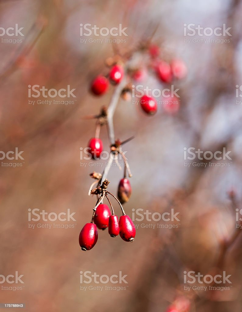 Red autumn berries in the sunshine royalty-free stock photo
