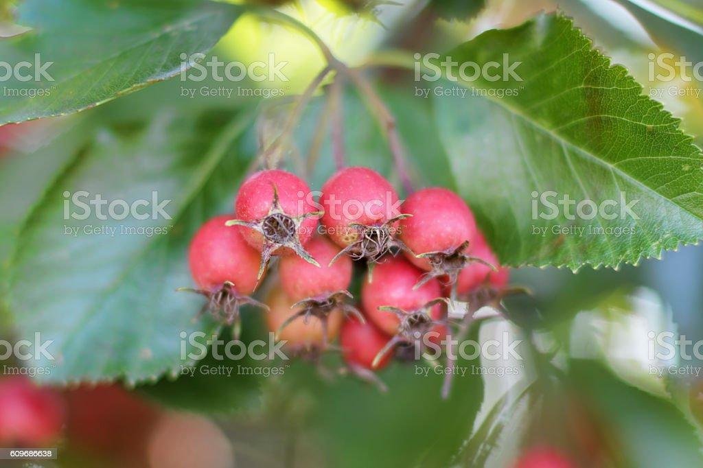 Red autumn berries of whitebeam Sorbus aria stock photo