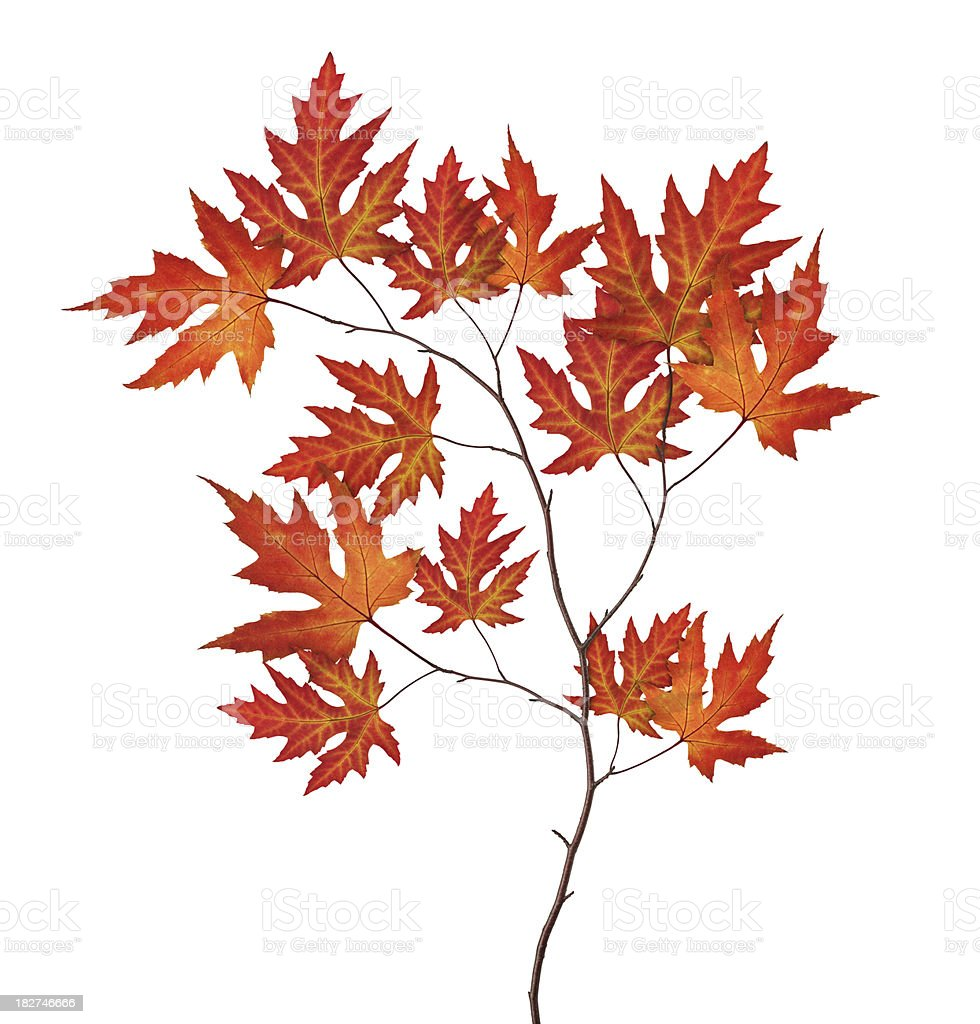 Red Autumn Branch royalty-free stock photo