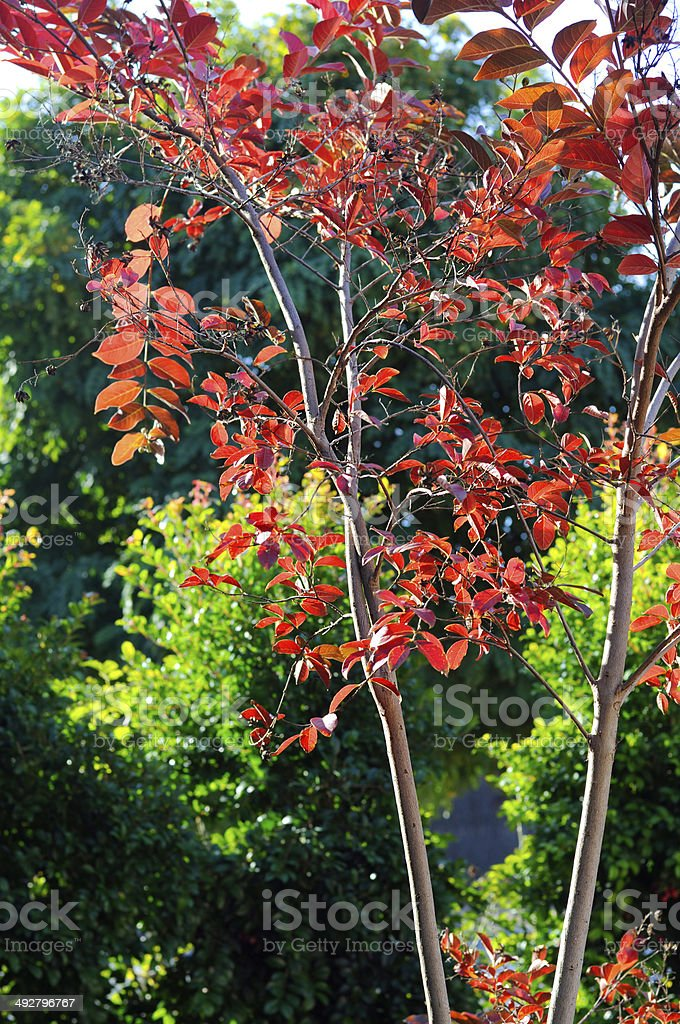 Red autumn fall leaves of a young Crepe Myrtle stock photo
