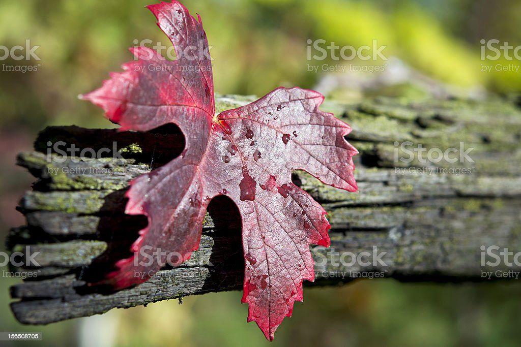 Red autumn grape leave royalty-free stock photo