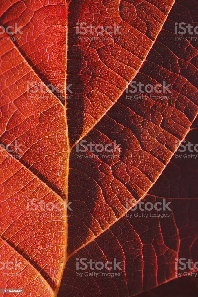 Red autumn leaf close-up royalty-free stock photo
