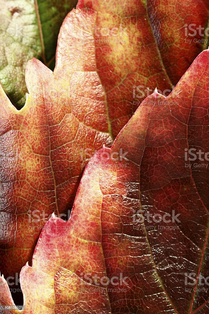 Red Autumn Leaf Layers stock photo