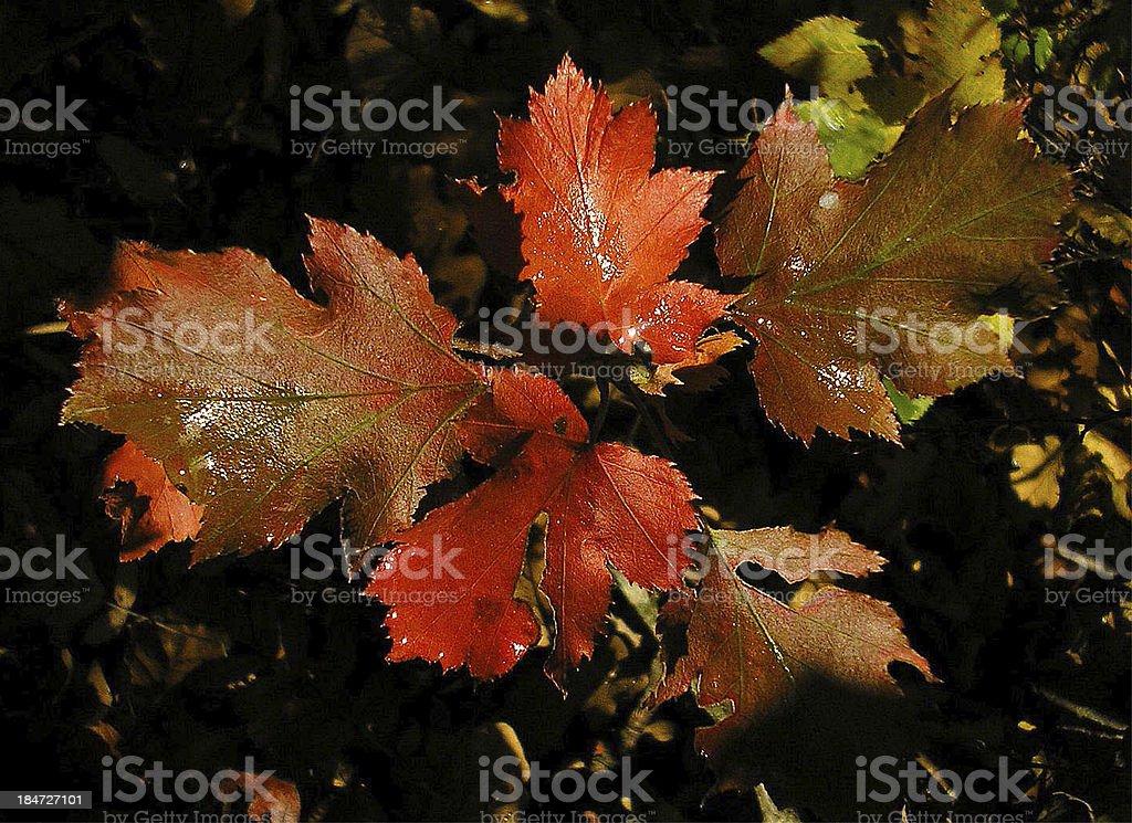 Red autumn leaf stock photo