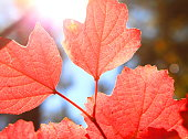 Red autumn leaves in autumn on the background of sunny sky