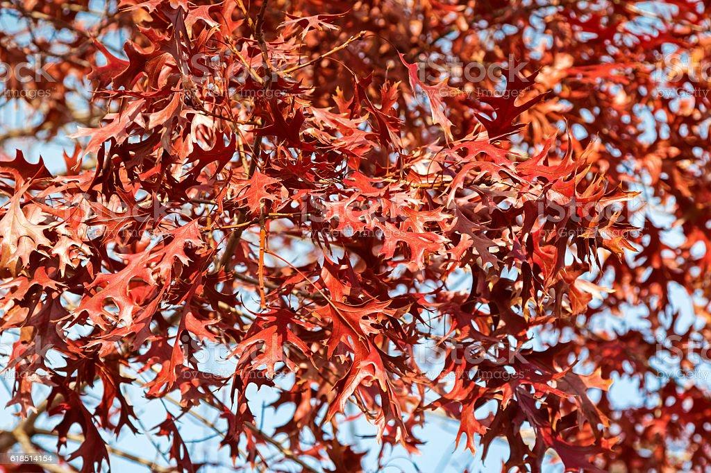 Red Autumn leaves of Pin Oak, swamp Spanish oak, Australia stock photo