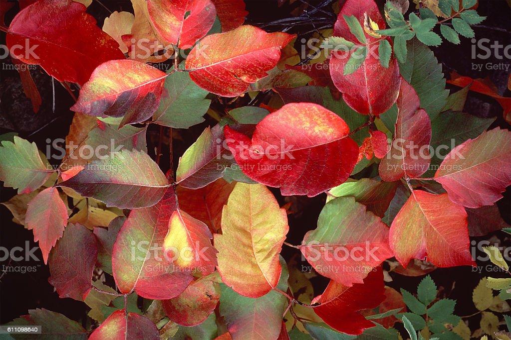 red autumn leaves of poison oak, Toxicodendron diversilobum stock photo