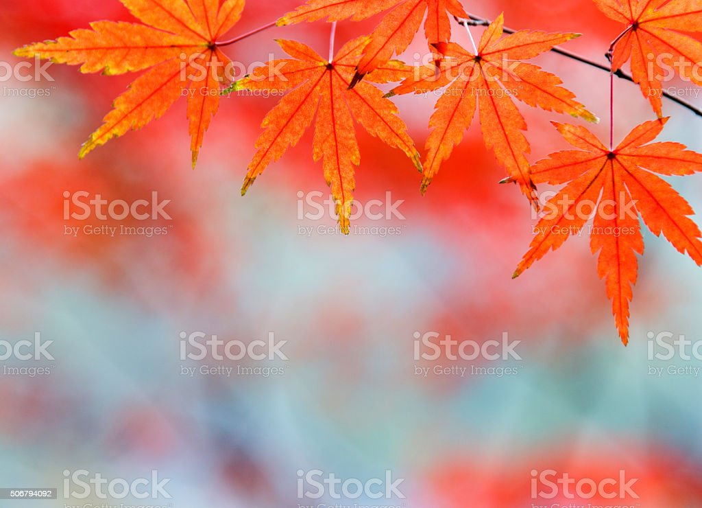 Red autumn leaves stock photo