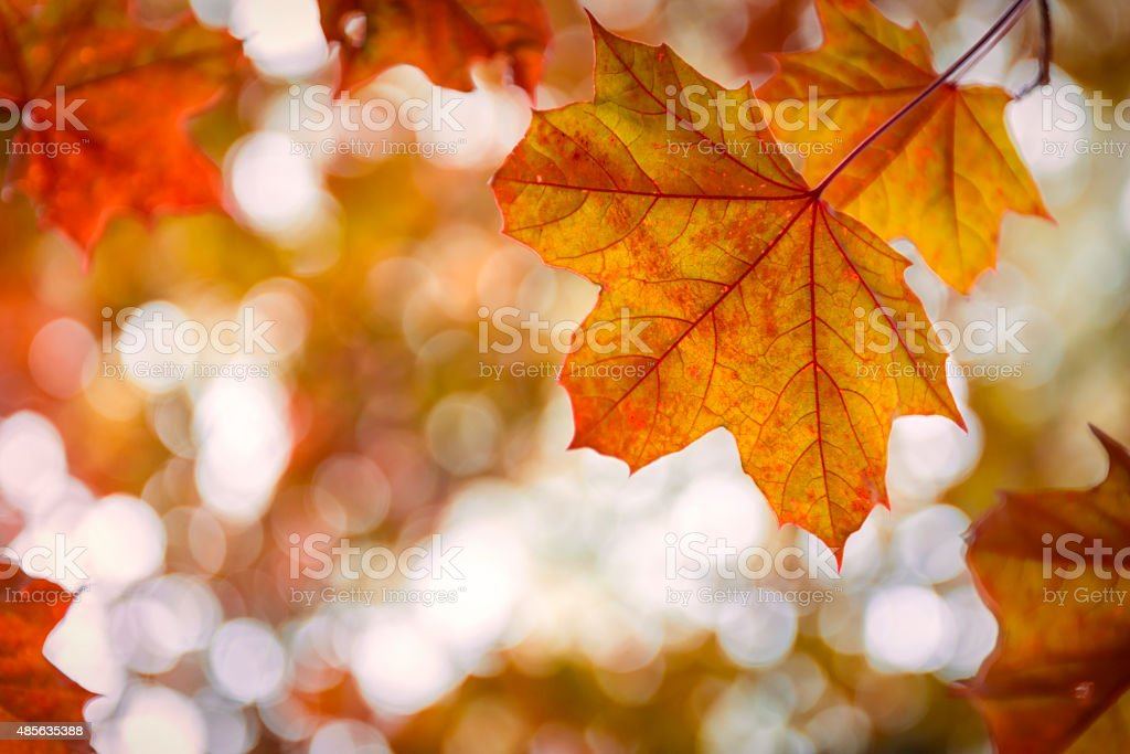 Red Autumn Maple Leaf stock photo