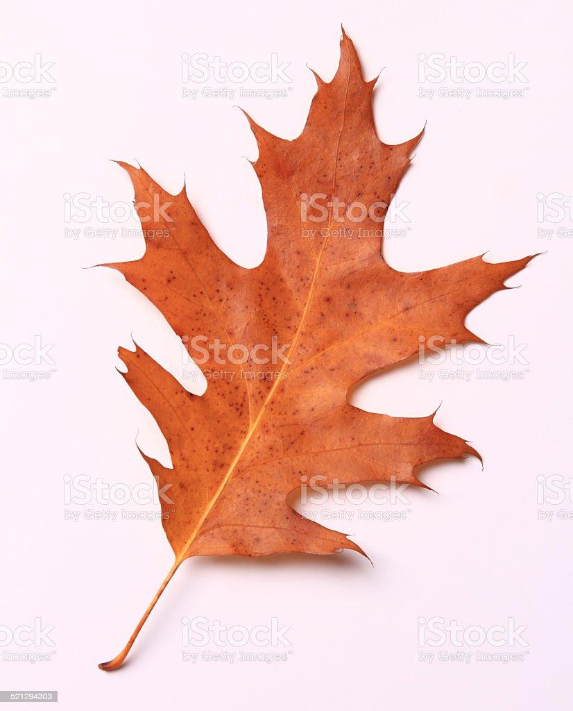 Red Autumn Oak Leaf stock photo