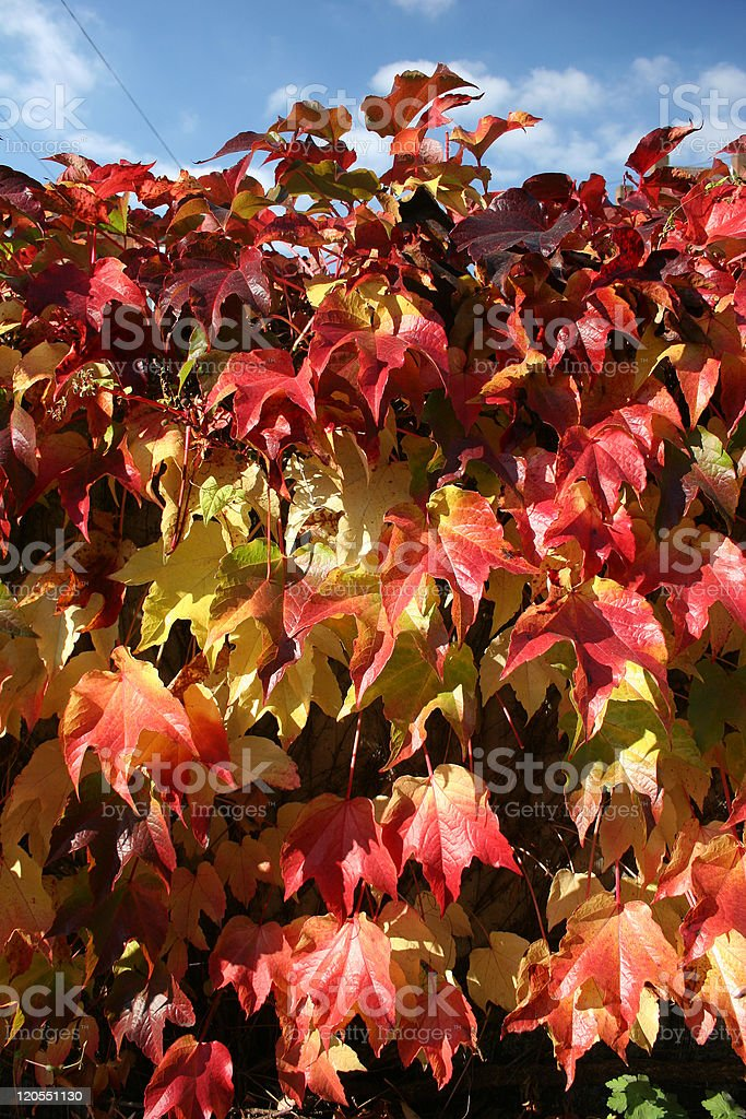 Red autumnal vine leaves royalty-free stock photo