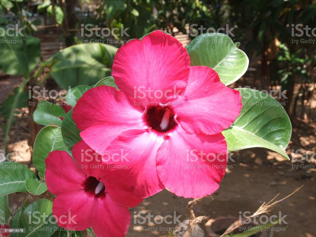 Red azalea stock photo