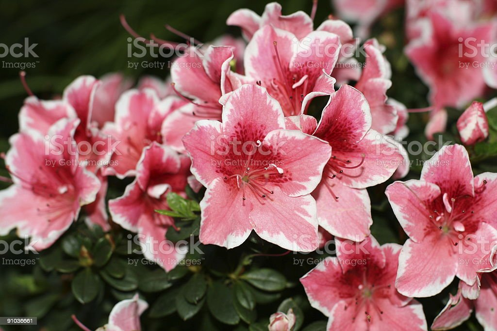 Red Azalea royalty-free stock photo