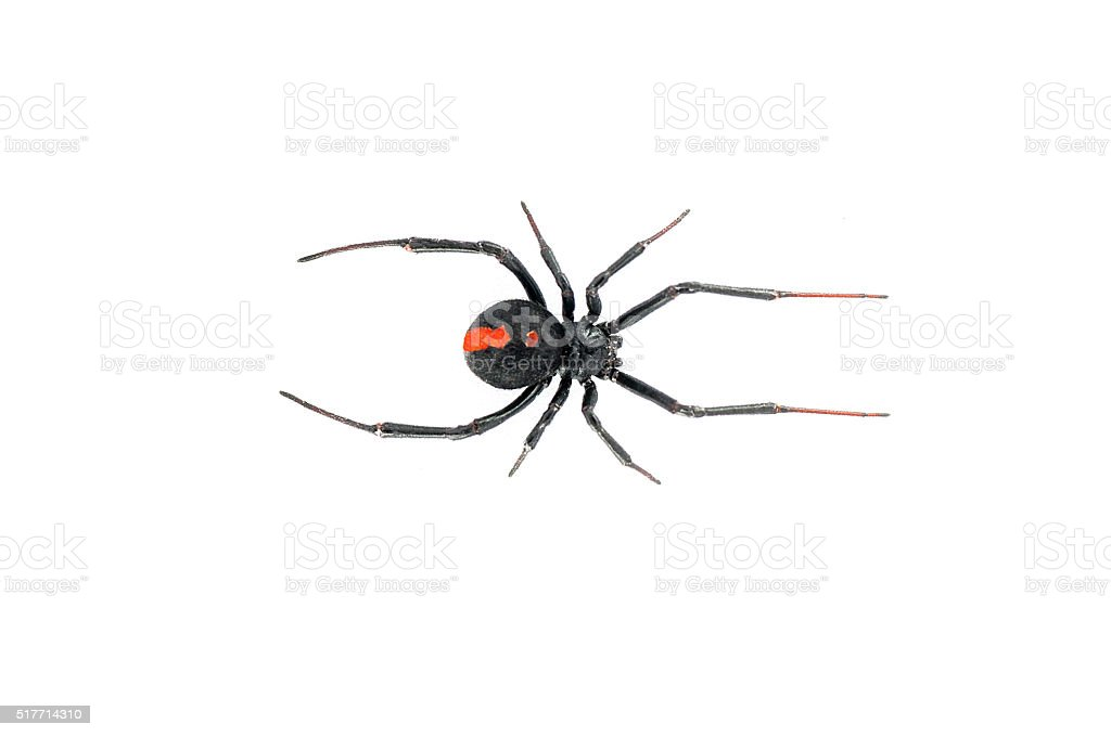 Red back black widow spider stock photo