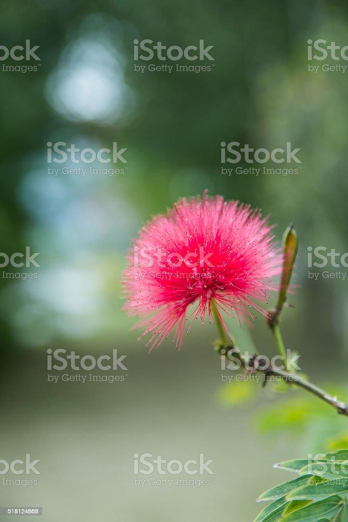 red ball,Calliandra stock photo