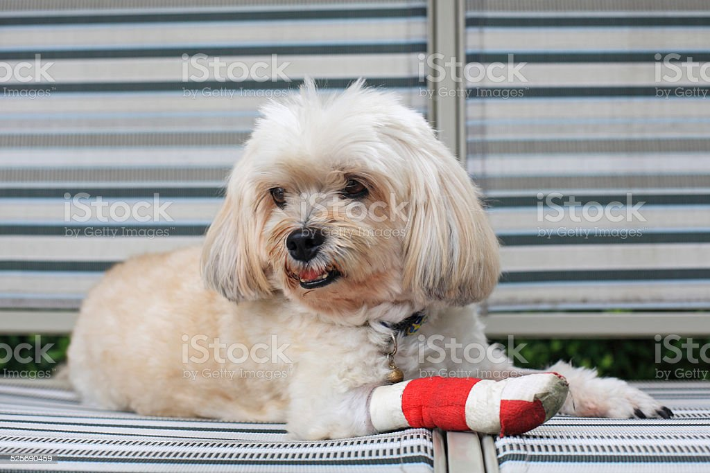 red bandage on front injured leg of Shih Tzu stock photo