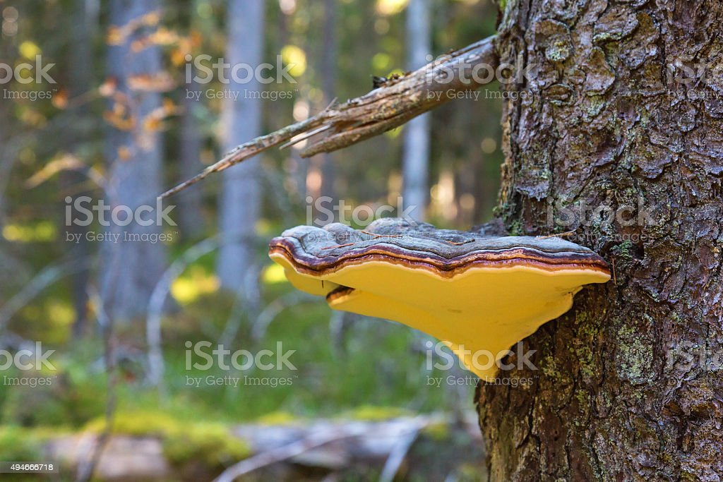 Red banded polypore stock photo