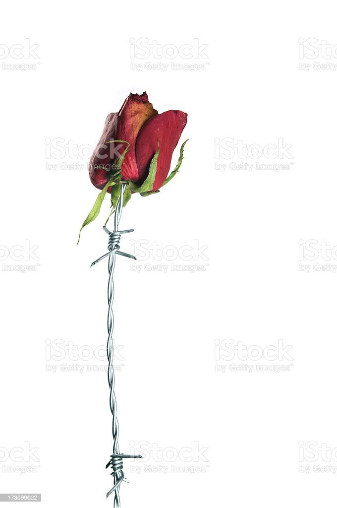 Red Barbed Rose royalty-free stock photo