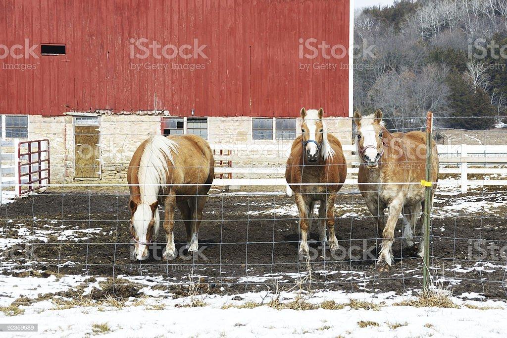 Red Barn and Three Palominos royalty-free stock photo