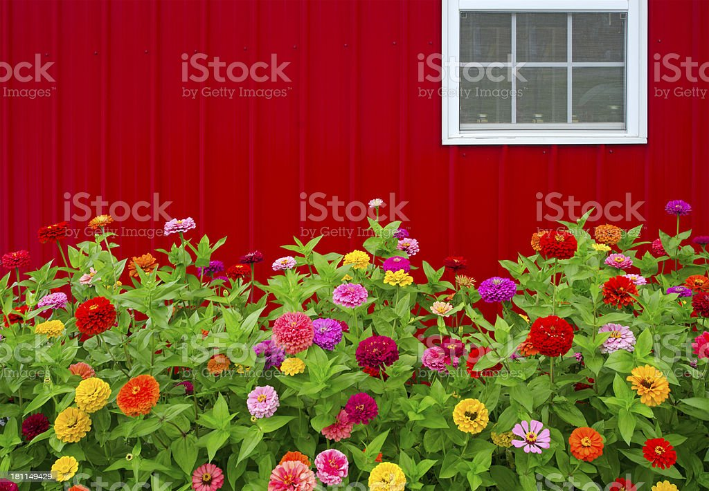 Red Barn and Zinnias stock photo