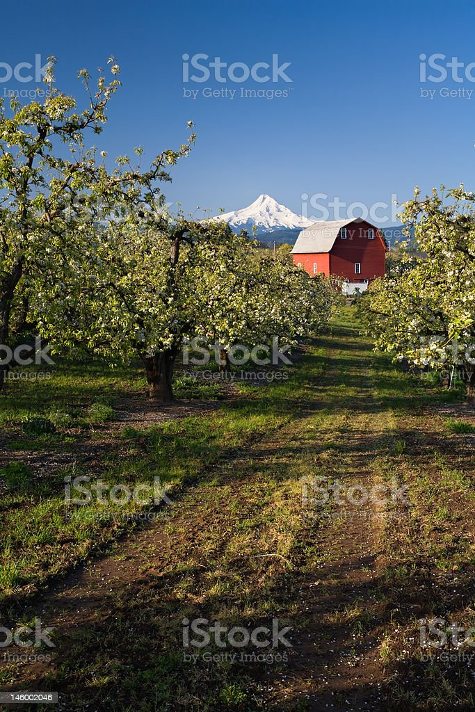 Red Barn in Apple Orchard royalty-free stock photo