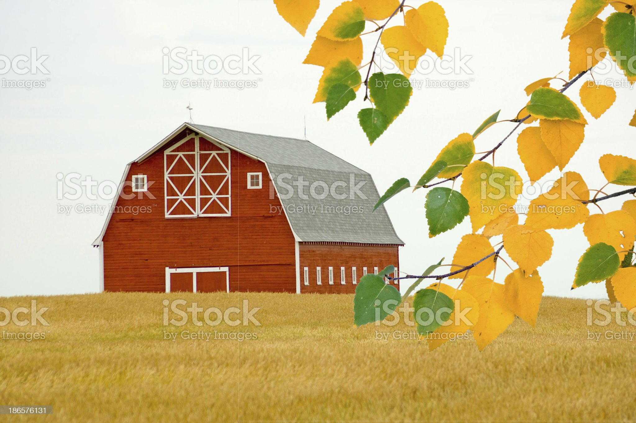 Red Barn in the Fall with Birch royalty-free stock photo