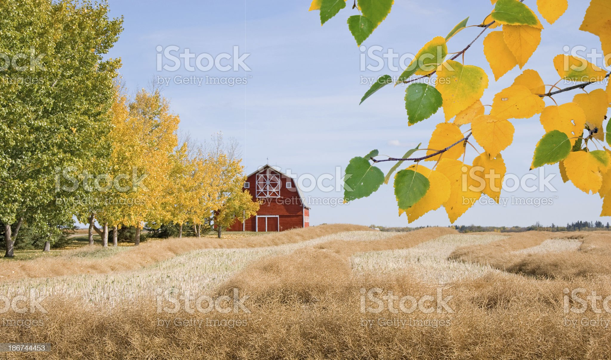 Red Barn in the Fall with Poplar Trees. royalty-free stock photo