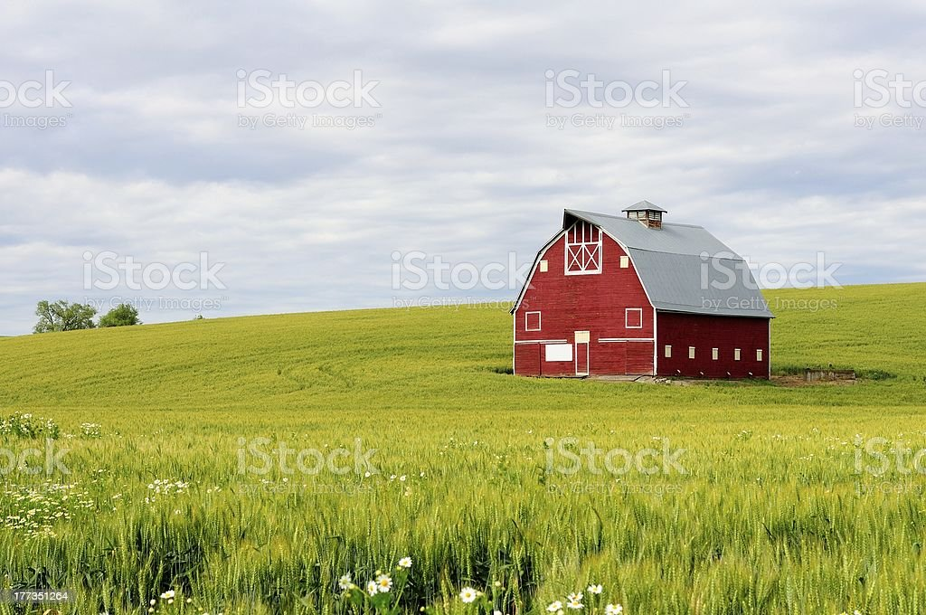 Red Barn in Wheatfield stock photo