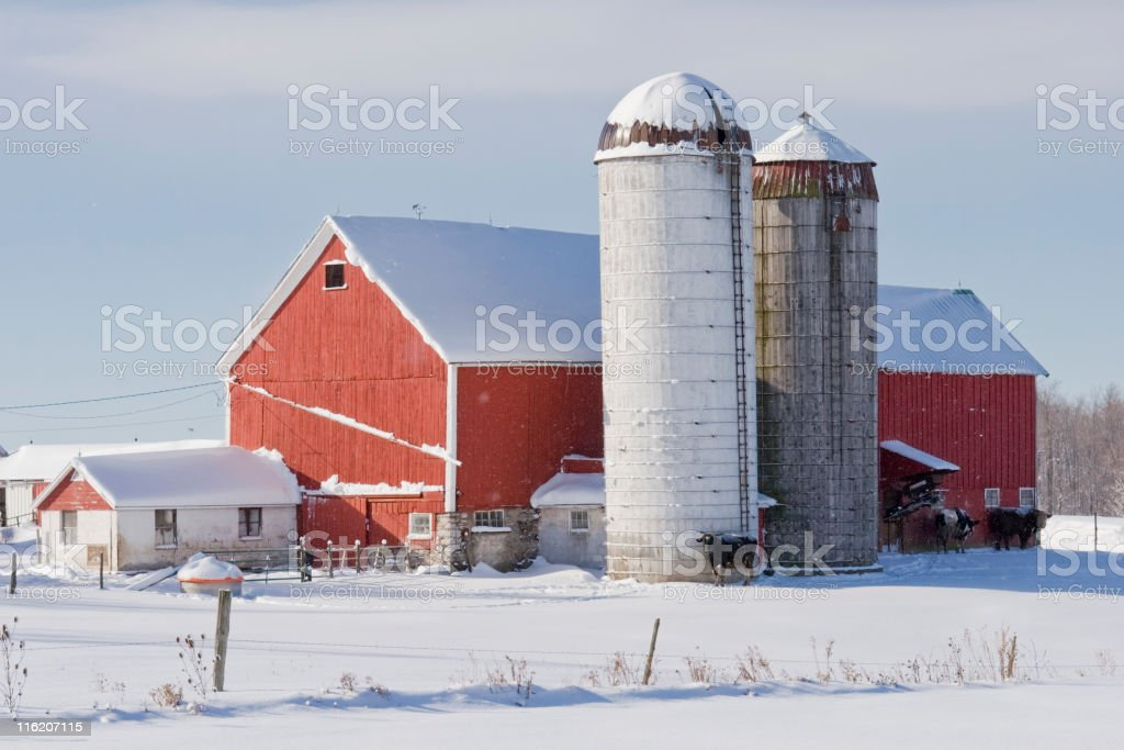 Red Barn with Silos and Cows in Winter royalty-free stock photo