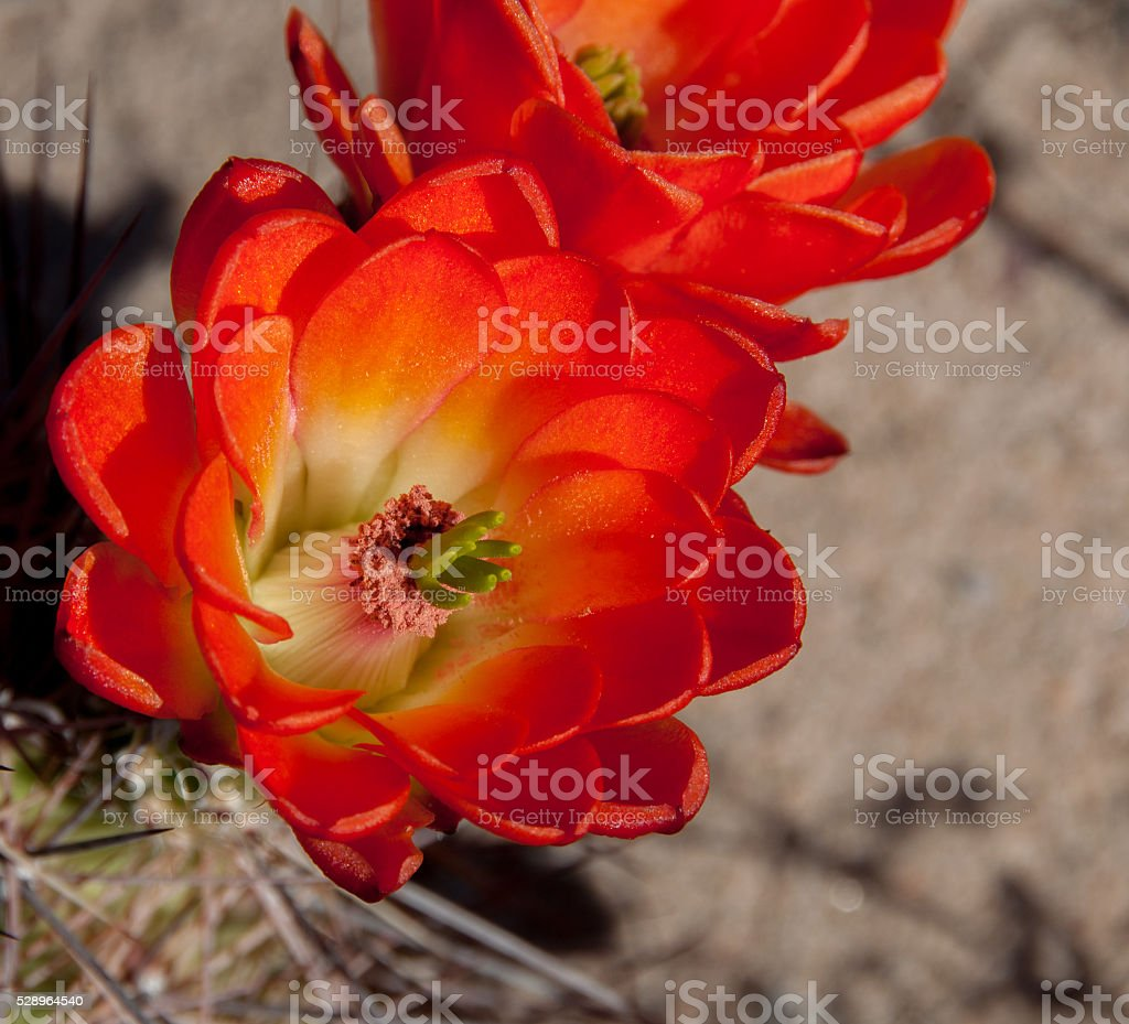 Red Barrel Cactus Blossom Closeup stock photo