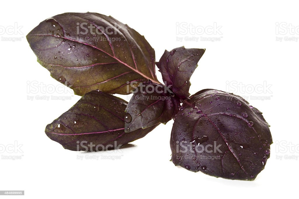 Red basil leaves isolated stock photo