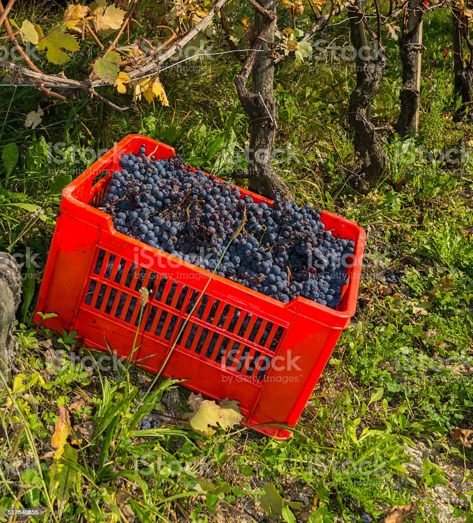 Red basket with grapes in Langhe (Unesco World Heritage site) stock photo