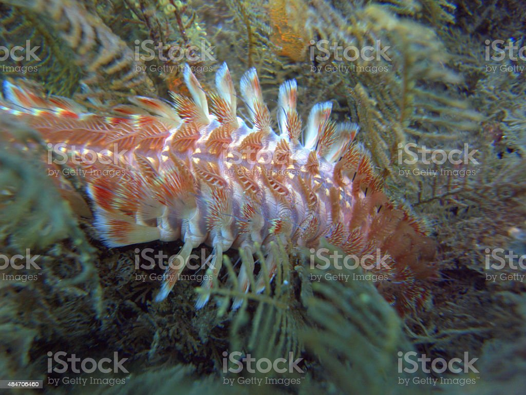 red bearded fireworm underwater stock photo