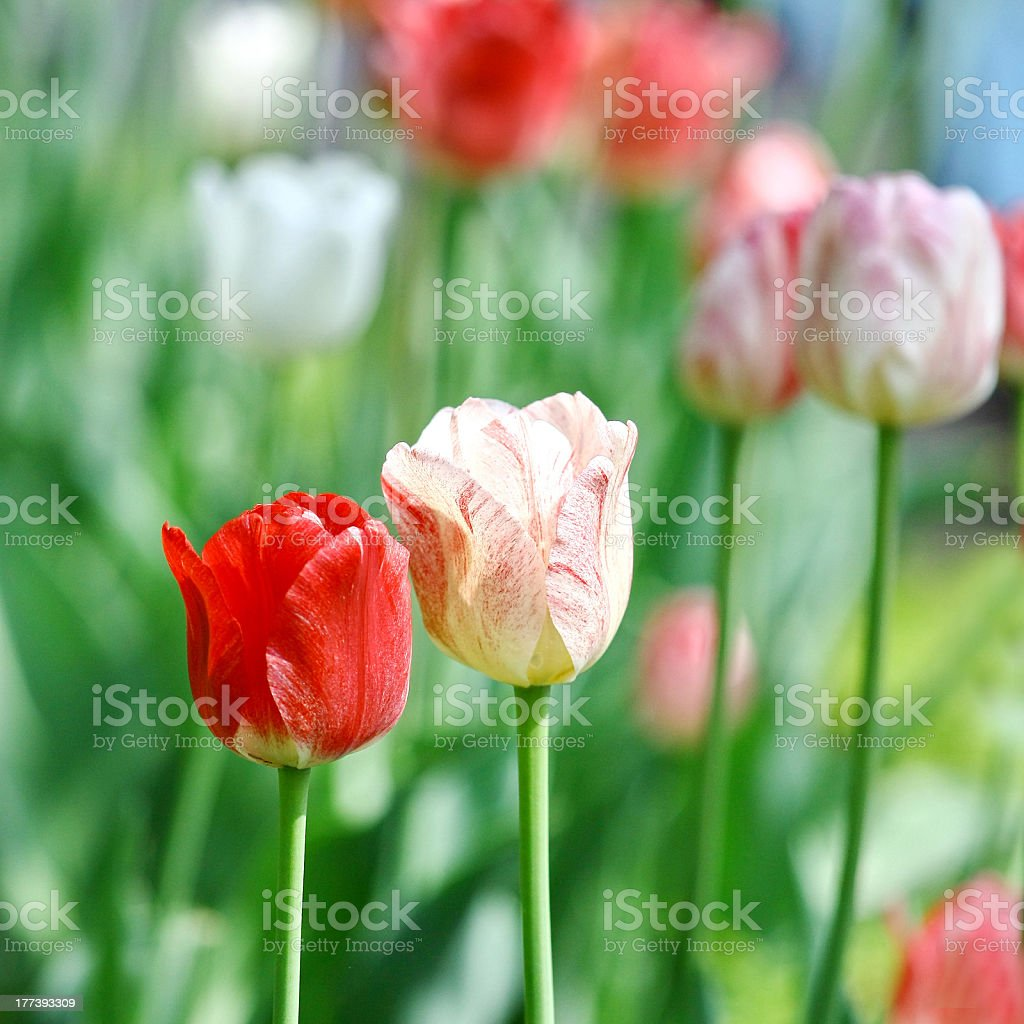 Red beautiful tulips royalty-free stock photo