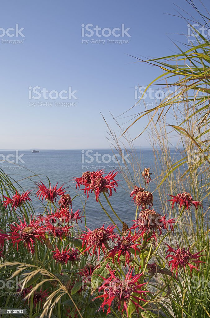 Red bee balm by the sea stock photo