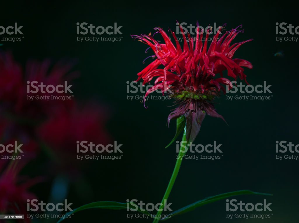 Red Bee Balm stock photo