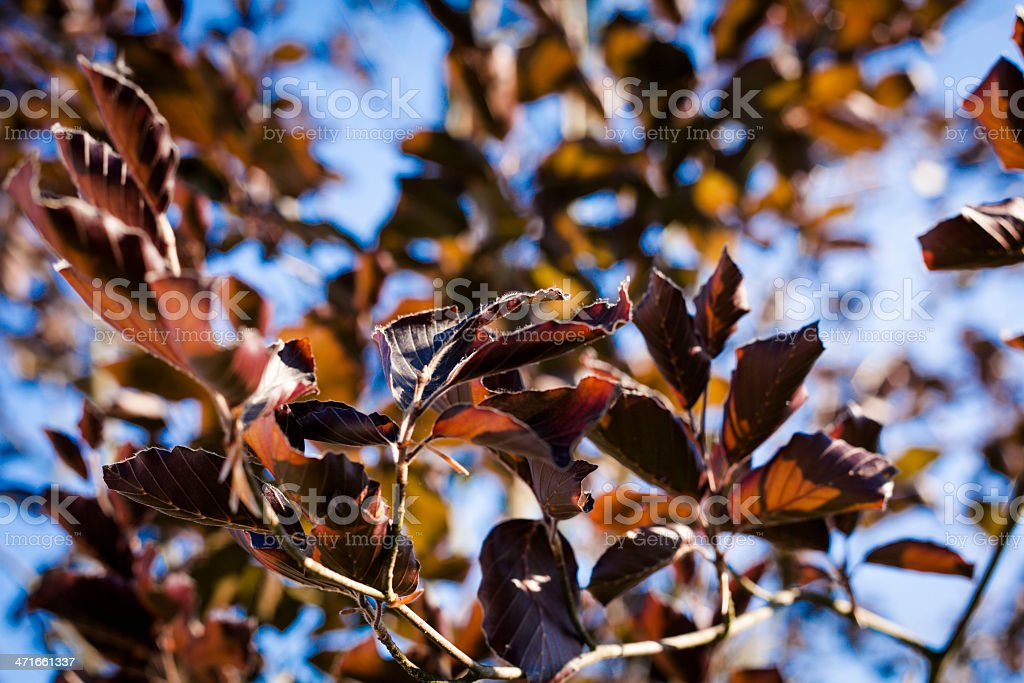 Red beech leaves royalty-free stock photo