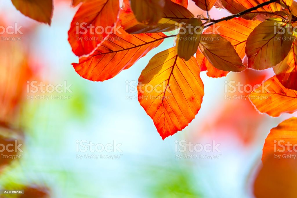 Red beech leaves stock photo