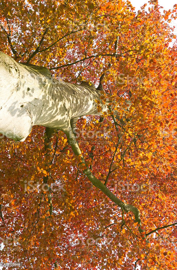 Red beech tree in spring royalty-free stock photo