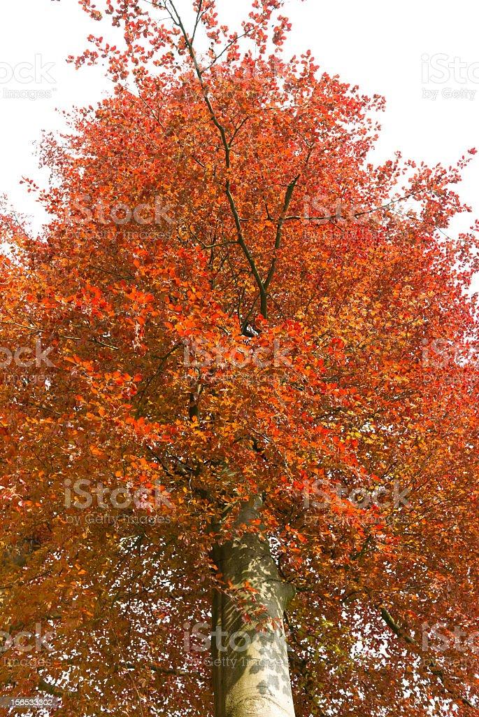 Red beech tree royalty-free stock photo