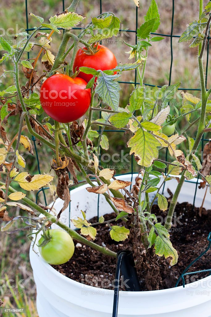 Red Beefsteak Tomatoes in a Bucket Garden royalty-free stock photo